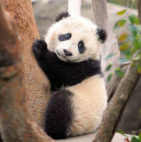 41048e5d554aa7870135f94dd99f54a1--baby-pandas-giant-pandas